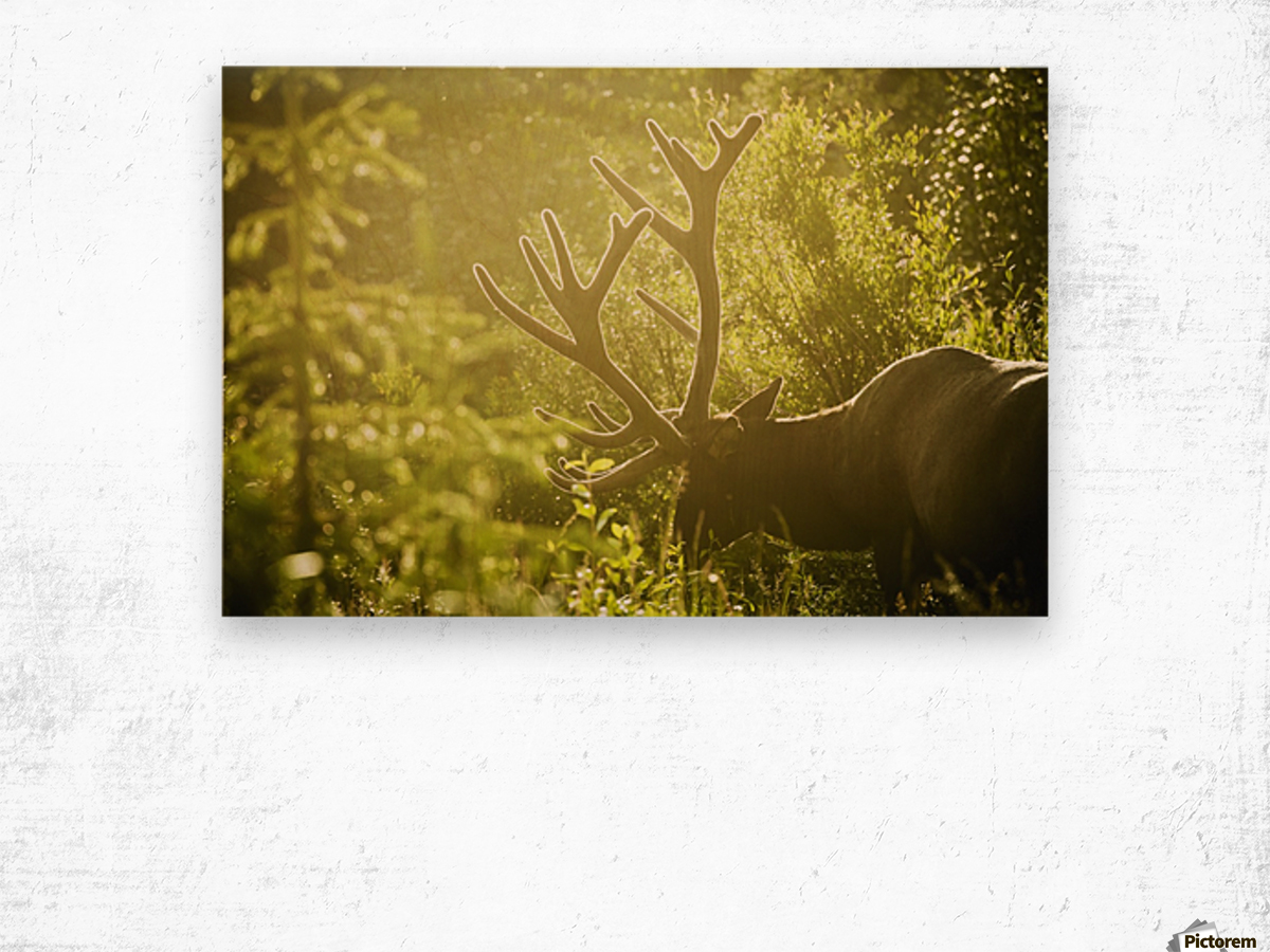 An elk (cervus canadensis) with large antlers grazing in warm ...