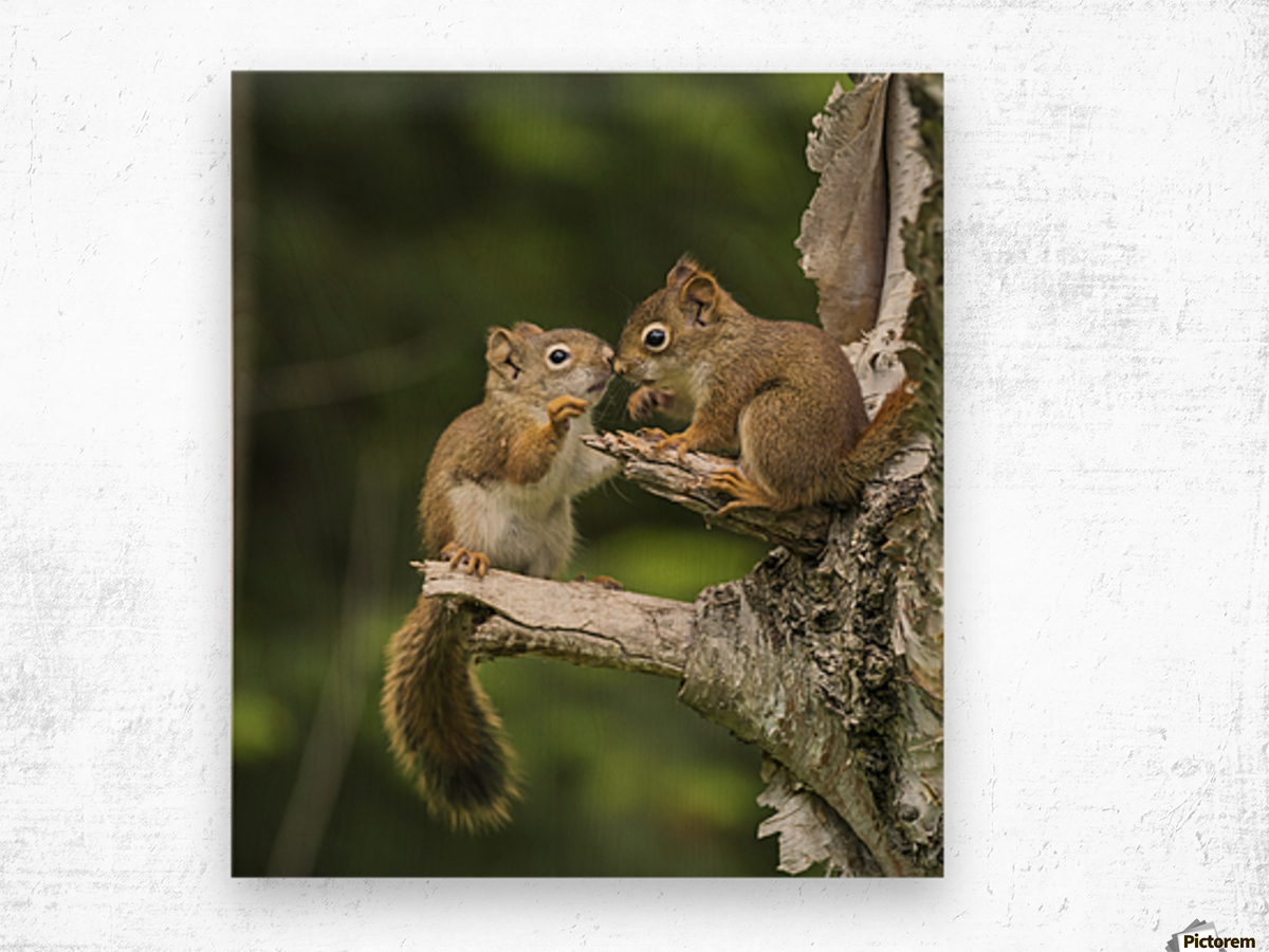Two Red Squirrels (Sciurus Vulgaris) Playing In A Tree; Ontario, Canada Wood print