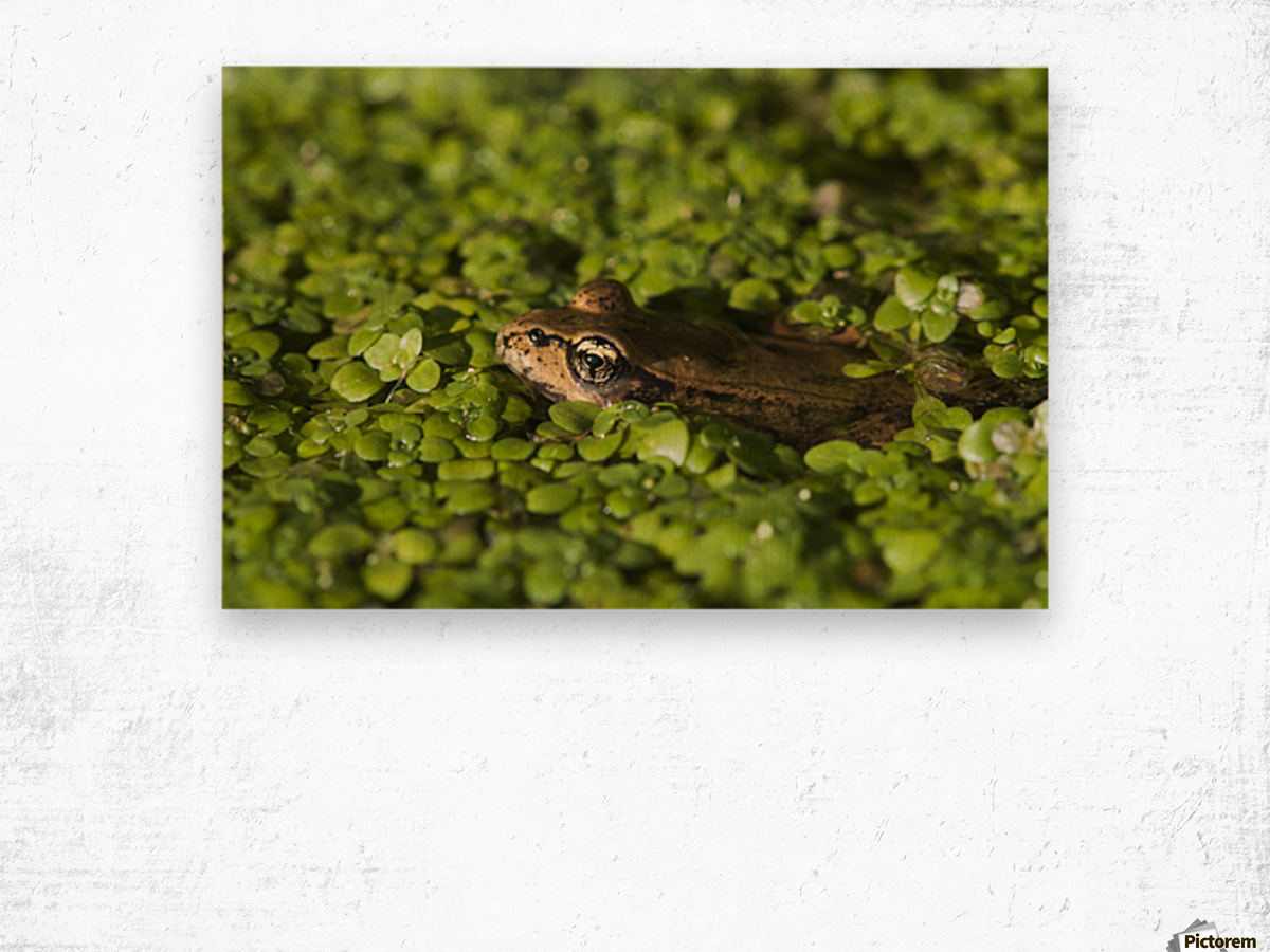 A Red-Legged Frog Rests In Small Plants; Astoria, Oregon, United States Of America Wood print