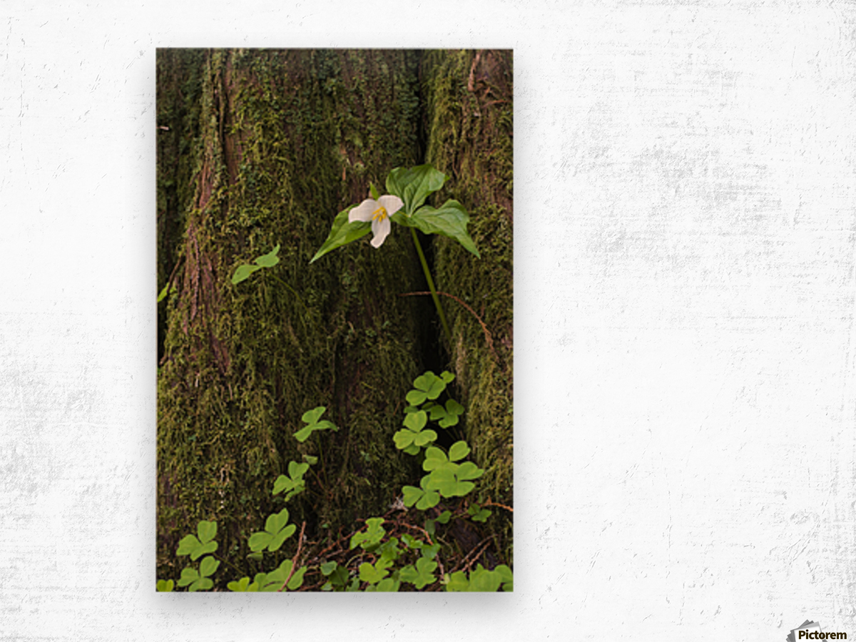 A Trillium grows from the trunk of a Western Red Cedar tree; Jewell, Oregon, United States of America Wood print