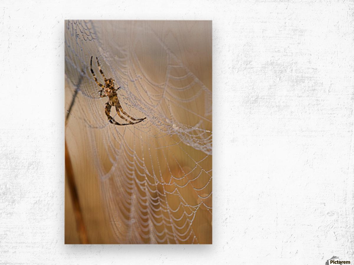A European Garden Spider waits in her web; Astoria, Oregon, United ...