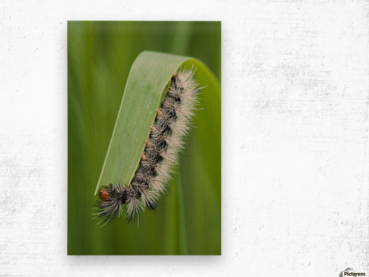A caterpillar eats grass; Astoria, Oregon, United States of America Wood print