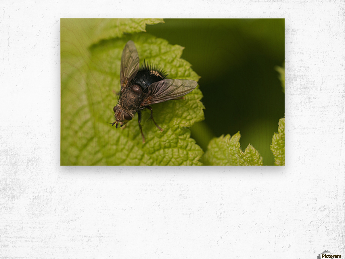 A fly rests on a leaf; Astoria, Oregon, United States of America Wood print
