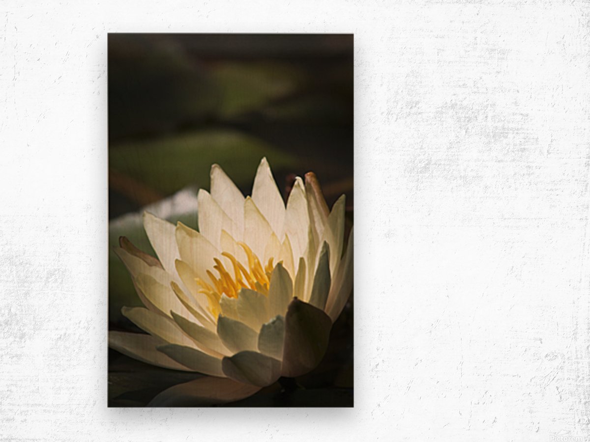 Water lily blooms in a pond; Astoria, Oregon, United States of America Impression sur bois