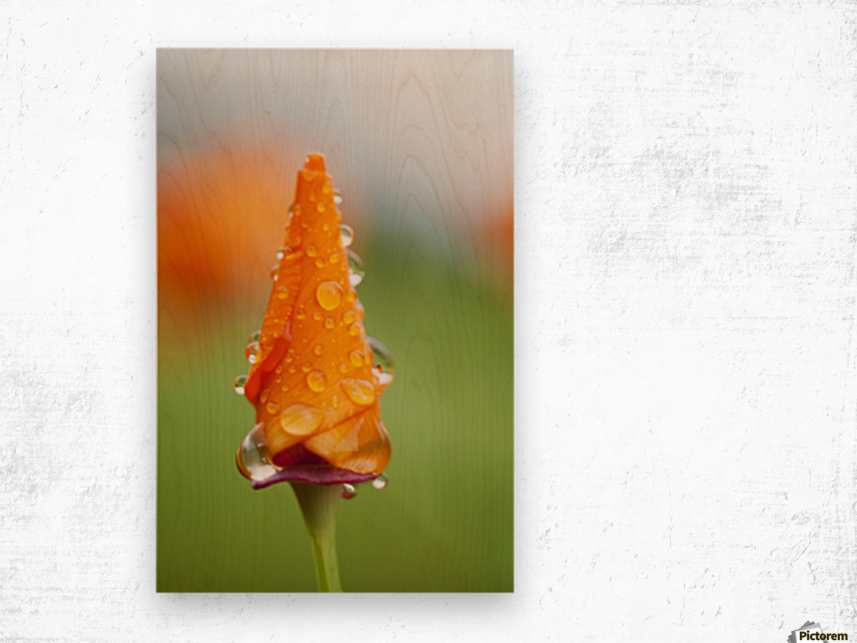 California poppy (Eschscholzia californica) remains closed in the rain; Astoria, Oregon, United States of America Wood print