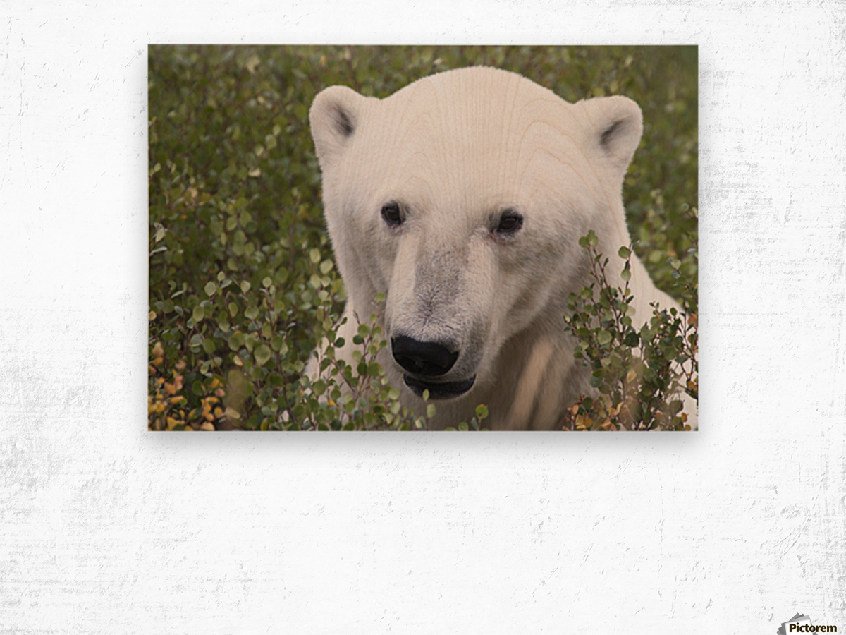 Large male polar bear (ursus maritimus) sitting in the willow bushes near Churchill; Manitoba, Canada Wood print