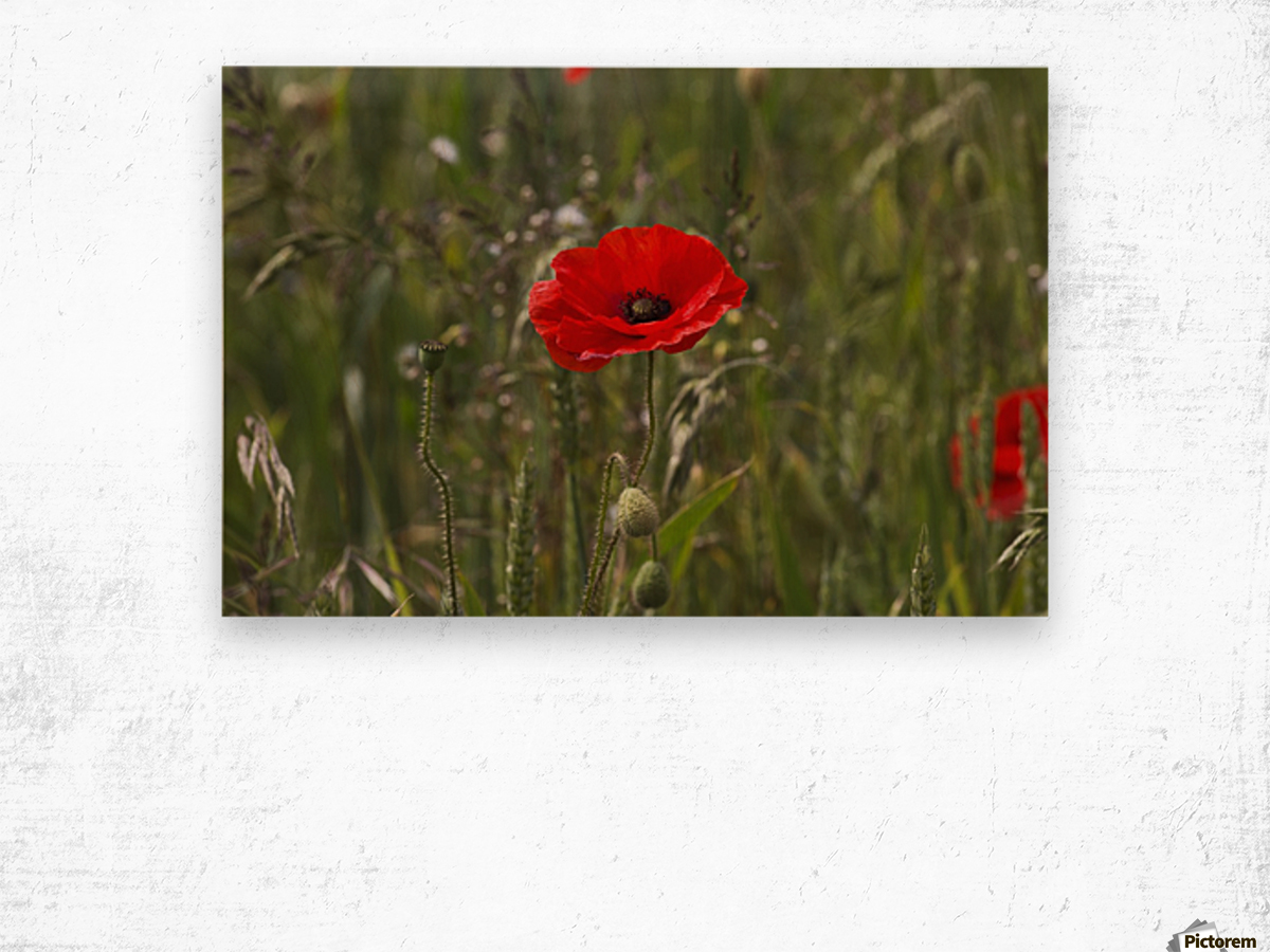 Close up of a red poppy blossoming; Northumberland, England Wood print