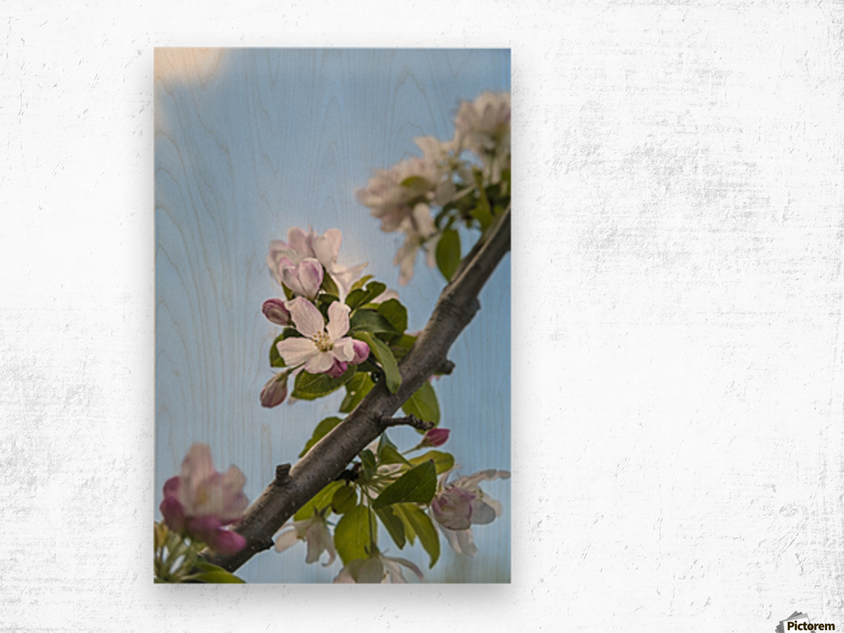 Pink and white crabapple flowers against a blue sky; Toronto, Ontario, Canada Wood print