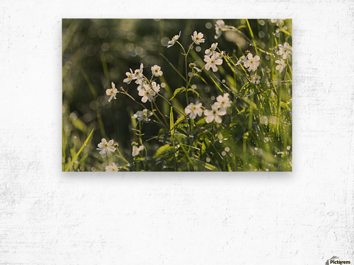 Buttercup (Ranunculus platanifolius); Black Forest, Germany Wood print