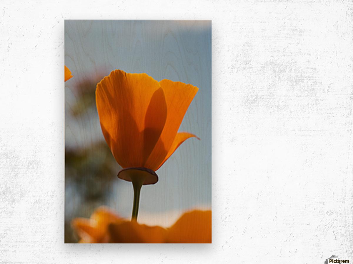 A california poppy (Eschscholzia californica) blooms in a garden against a blue sky; Astoria, Oregon, United States of America Wood print