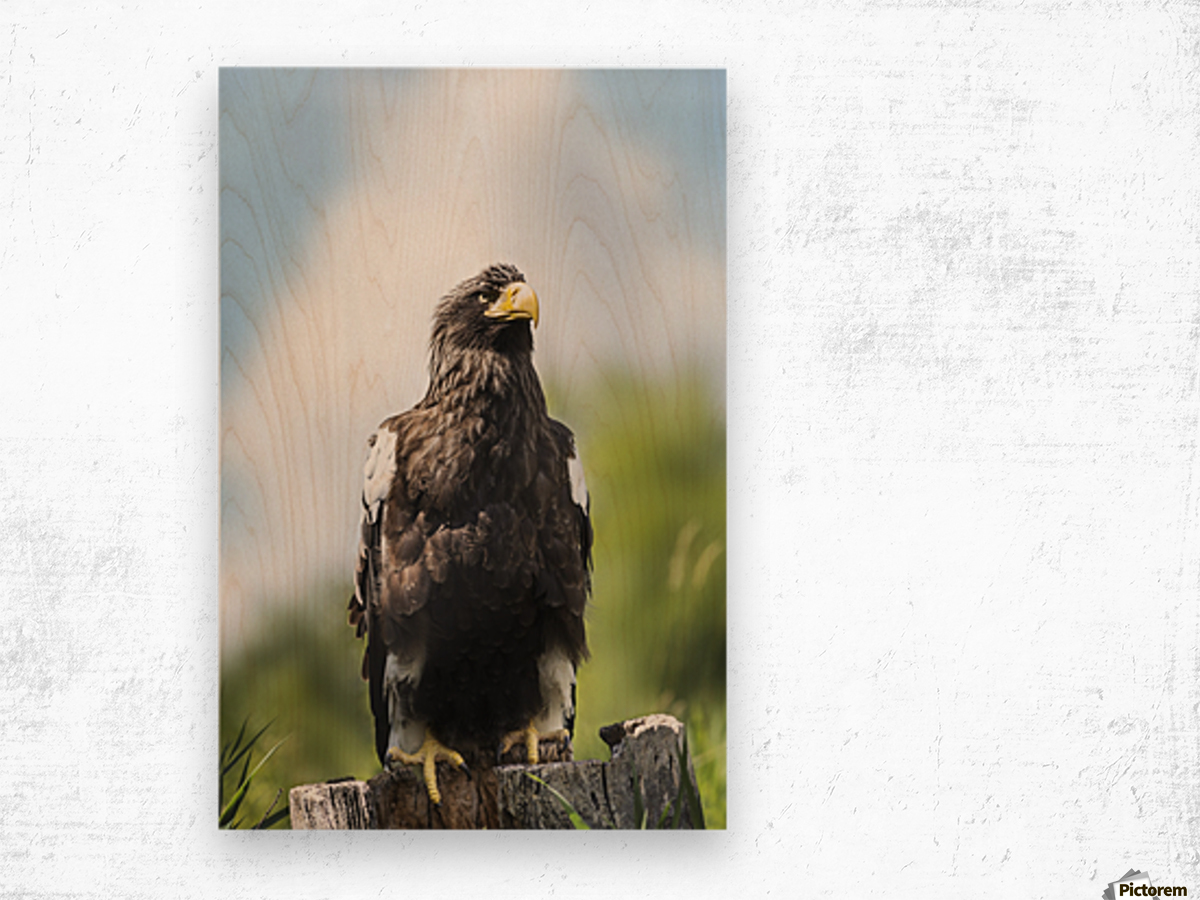 Golden Eagle, Assiniboine Park Zoo; Winnipeg, Manitoba, Canada Wood print