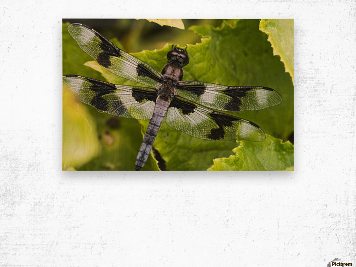A dragonfly warms up in a vegetable garden; Astoria, Oregon, United States of America Wood print