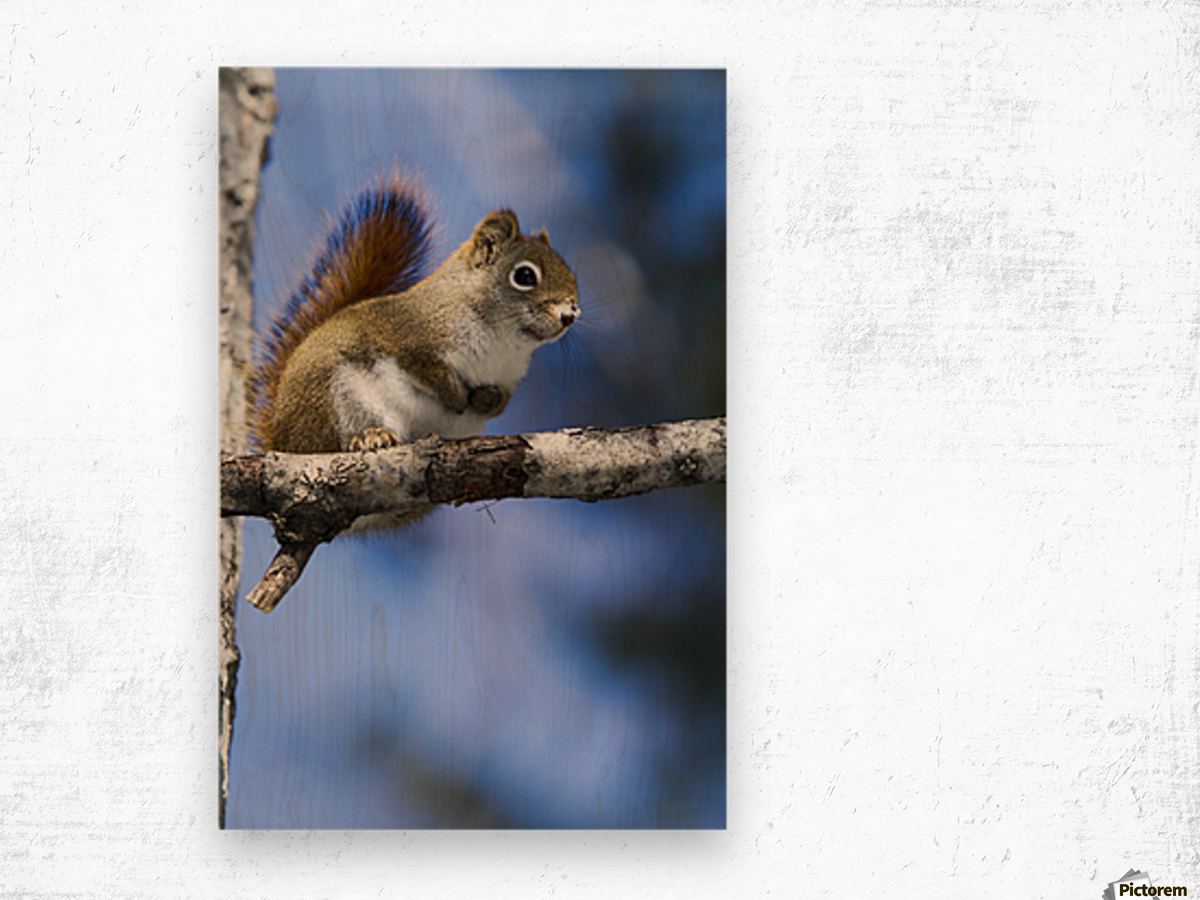Eastern grey squirrel (Sciurus carolinensis) perched on a branch; Quebec, Canada Wood print