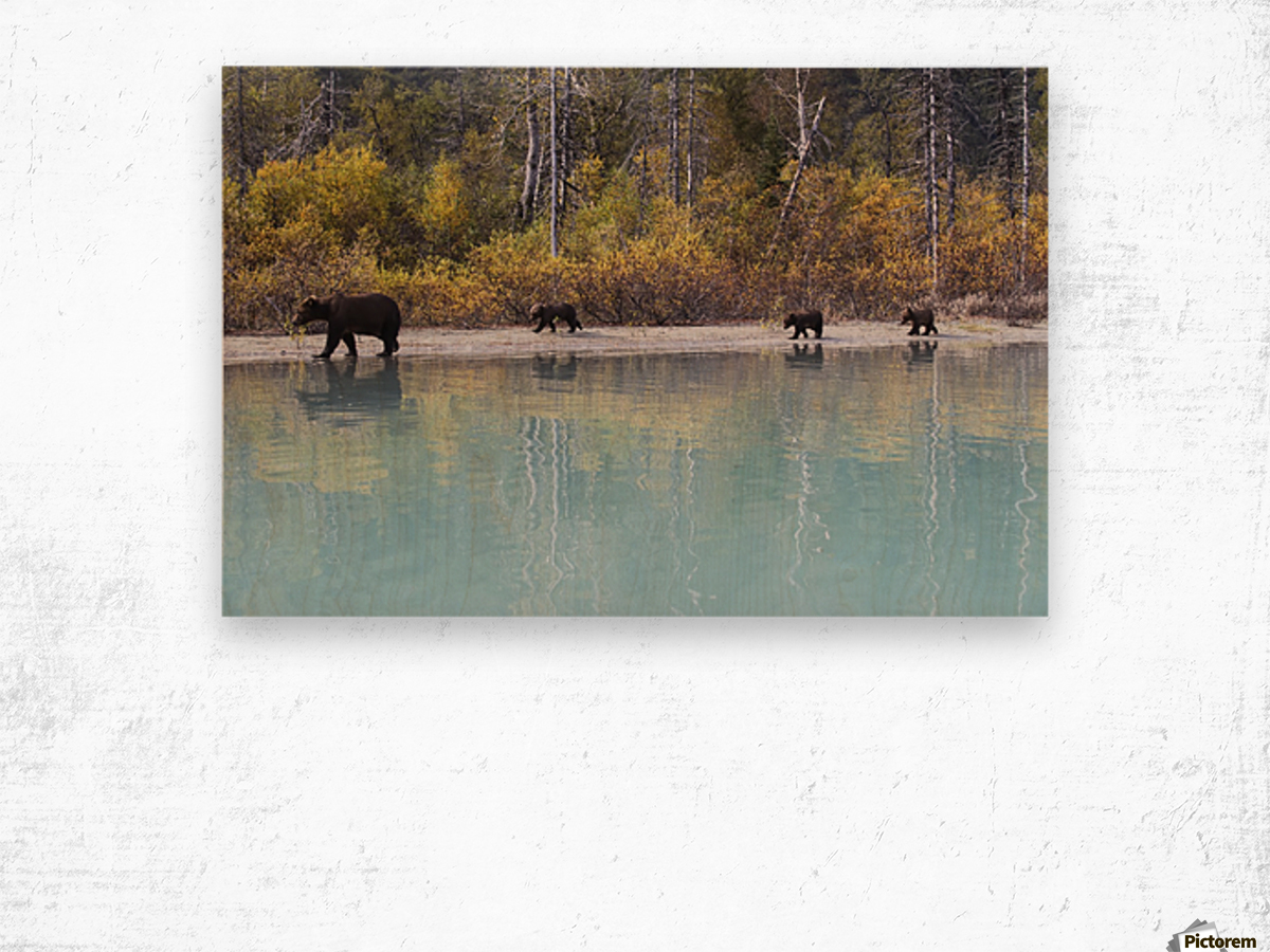 Sow Grizzly and three cubs walking along the shore of Crescent Lake, Lake Clark National Park, Southcentral Alaska, Autumn Wood print