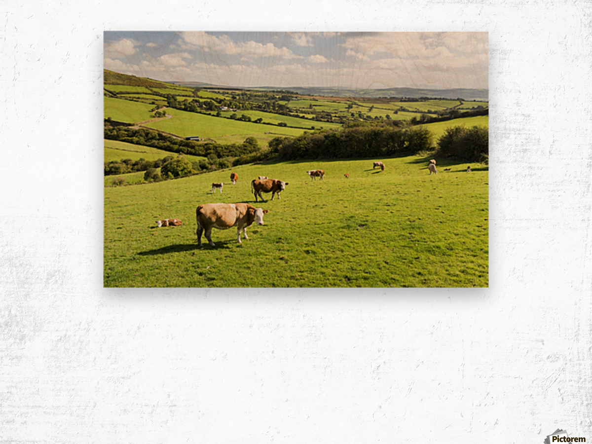 Cattle grazing on lush green hilly pastures with trees separating fields; County Kerry, Ireland Wood print