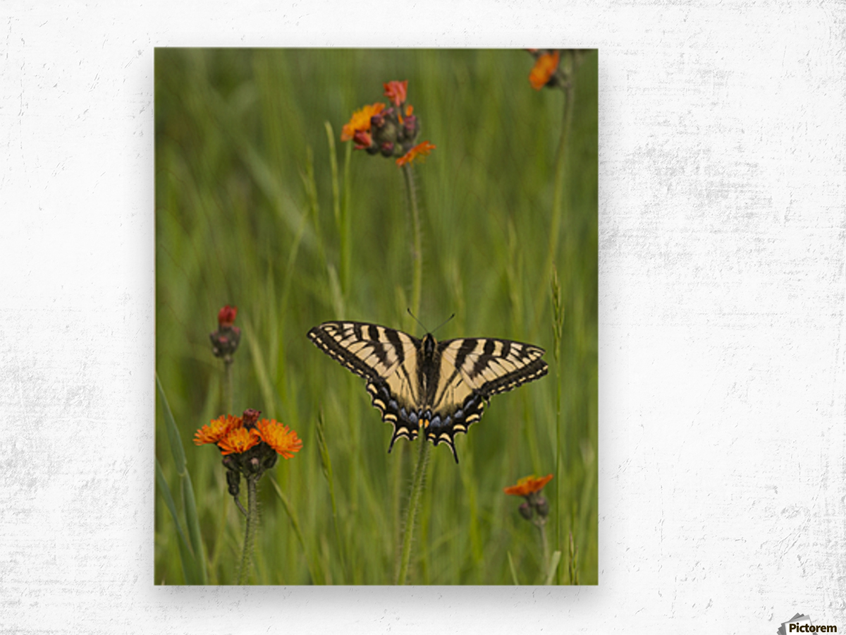 Eastern tiger swallowtail (Papilio glaucus) butterfly resting on flowers; Ontario, Canada Wood print