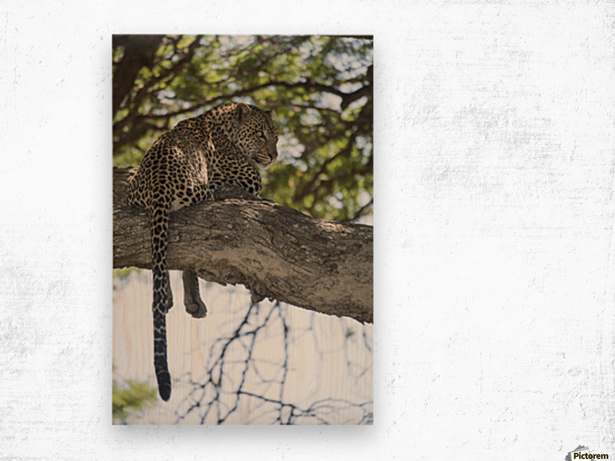 Leopard resting in tree near Ndutu, Ngorongoro Crater Conservation Area; Tanzania Wood print