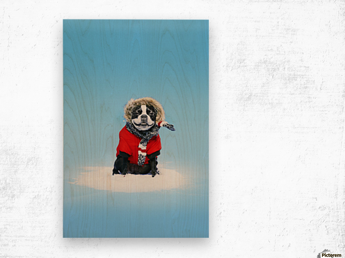 French bull terrier wearing jacket on blue background; Toronto, Ontario, Canada Wood print