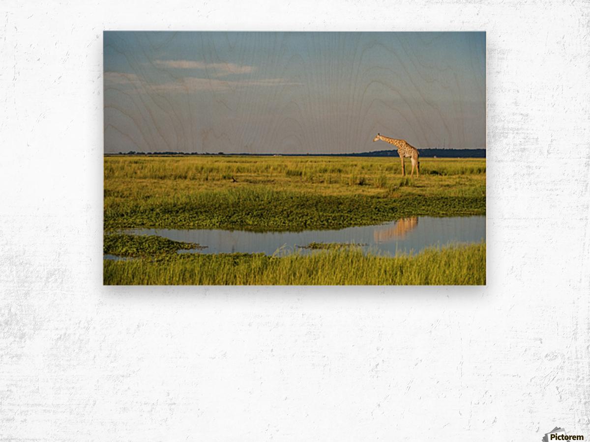 Giraffe (Giraffa camelopardalis), Chobe National Park; Kasane, Botswana Impression sur bois