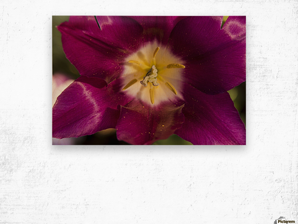 Red tulip, Andre Rieu (tulipa), New York Botanical Garden; New York City, New York, United States of America Wood print