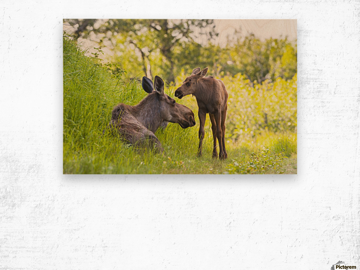 A moose cow and calf in Kincaid Park, Anchorage, Southcentral Alaska ...
