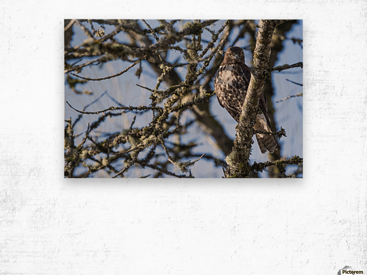 A young Red-tailed Hawk watches for movement in the grass below; Ridgefield, Washington, United States of America Wood print