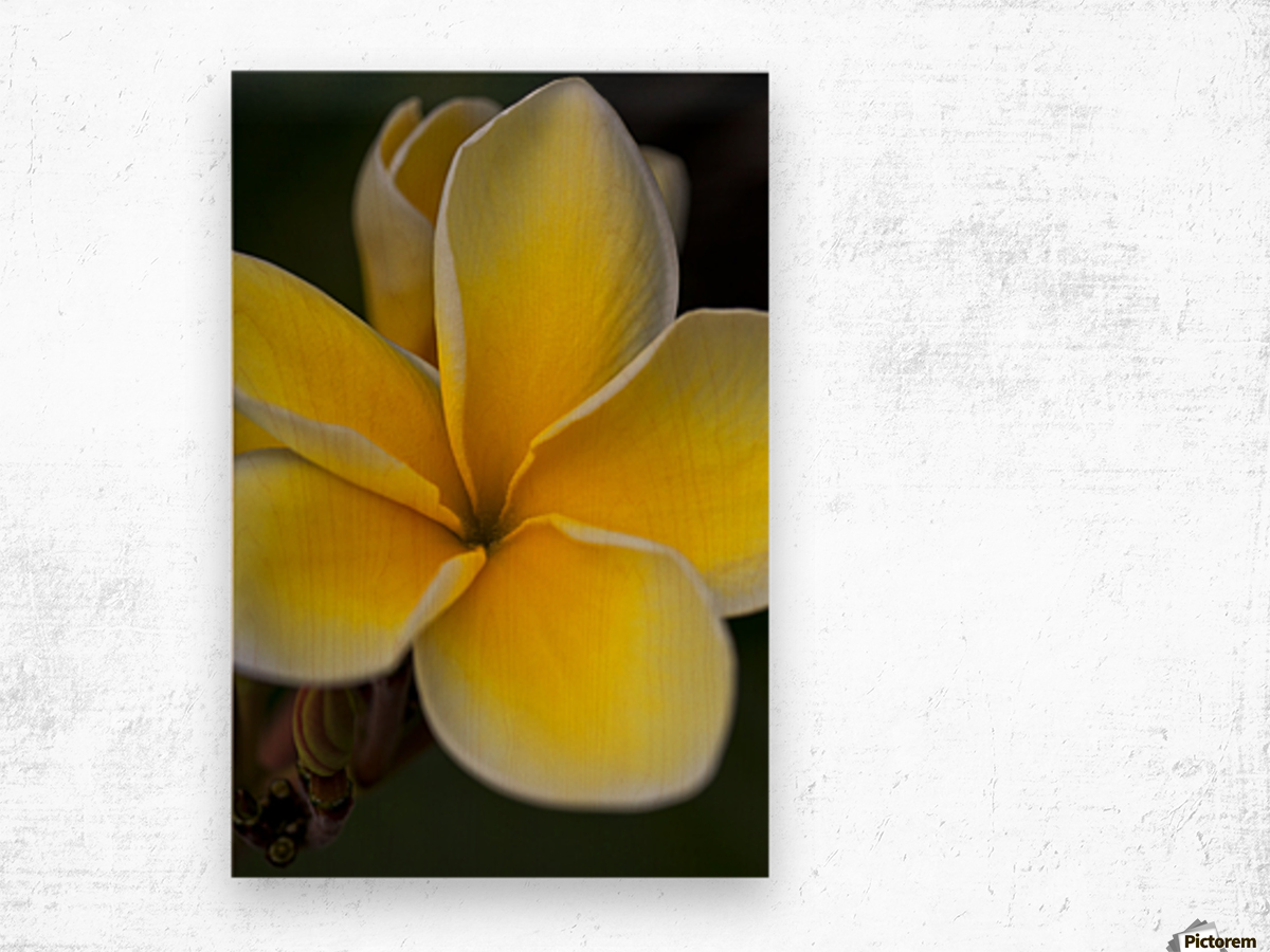 Close up of a yellow and white tropical flower hawaii united close up of a yellow and white tropical flower hawaii united states of america mightylinksfo