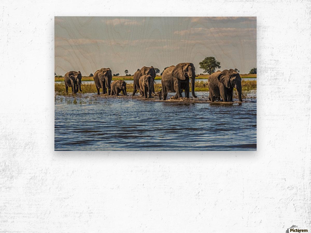 Line of elephants (Loxodonta africana) crossing river in sunshine; Botswana Wood print