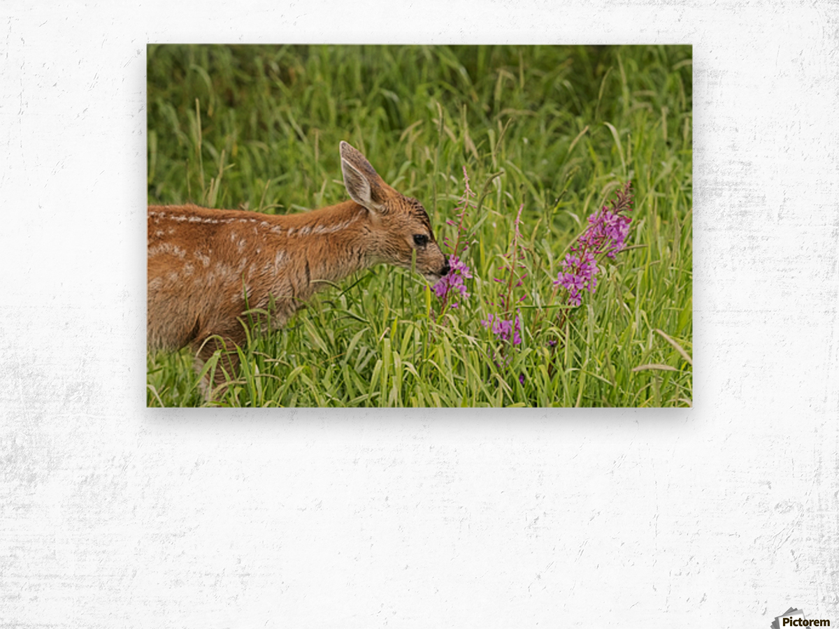 Sitka Black-tailed deer fawn (Odocoileus hemionus sitkensis) munches on fireweed (Chamerion angustifolium) in pasture, captive animal at the Alaska Wildlife Conservation Centre; Portage, Alaska, United States of America Wood print
