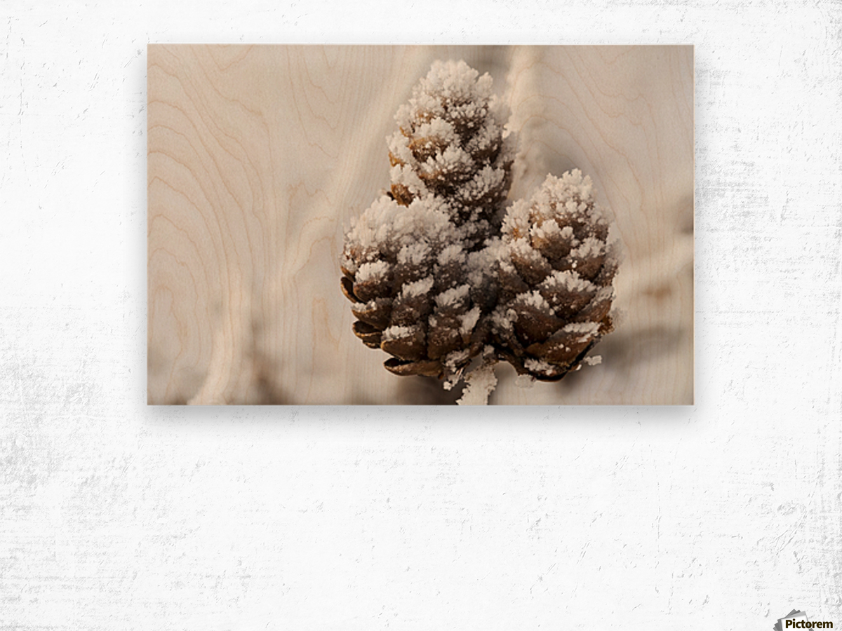Close up of frosted pine cones; Calgary, Alberta, Canada Wood print