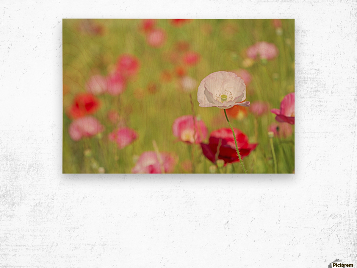 Poppies in a meadow; Burnaby, British Columbia, Canada Wood print