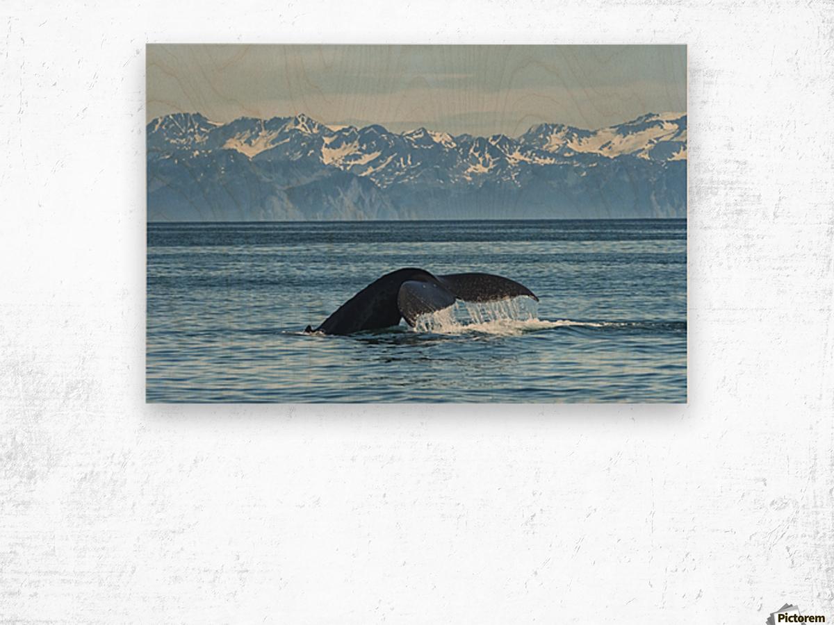 Humpback whale (Megaptera novaeangliae) in Seward harbour; Seward, Alaska, United States of America Wood print