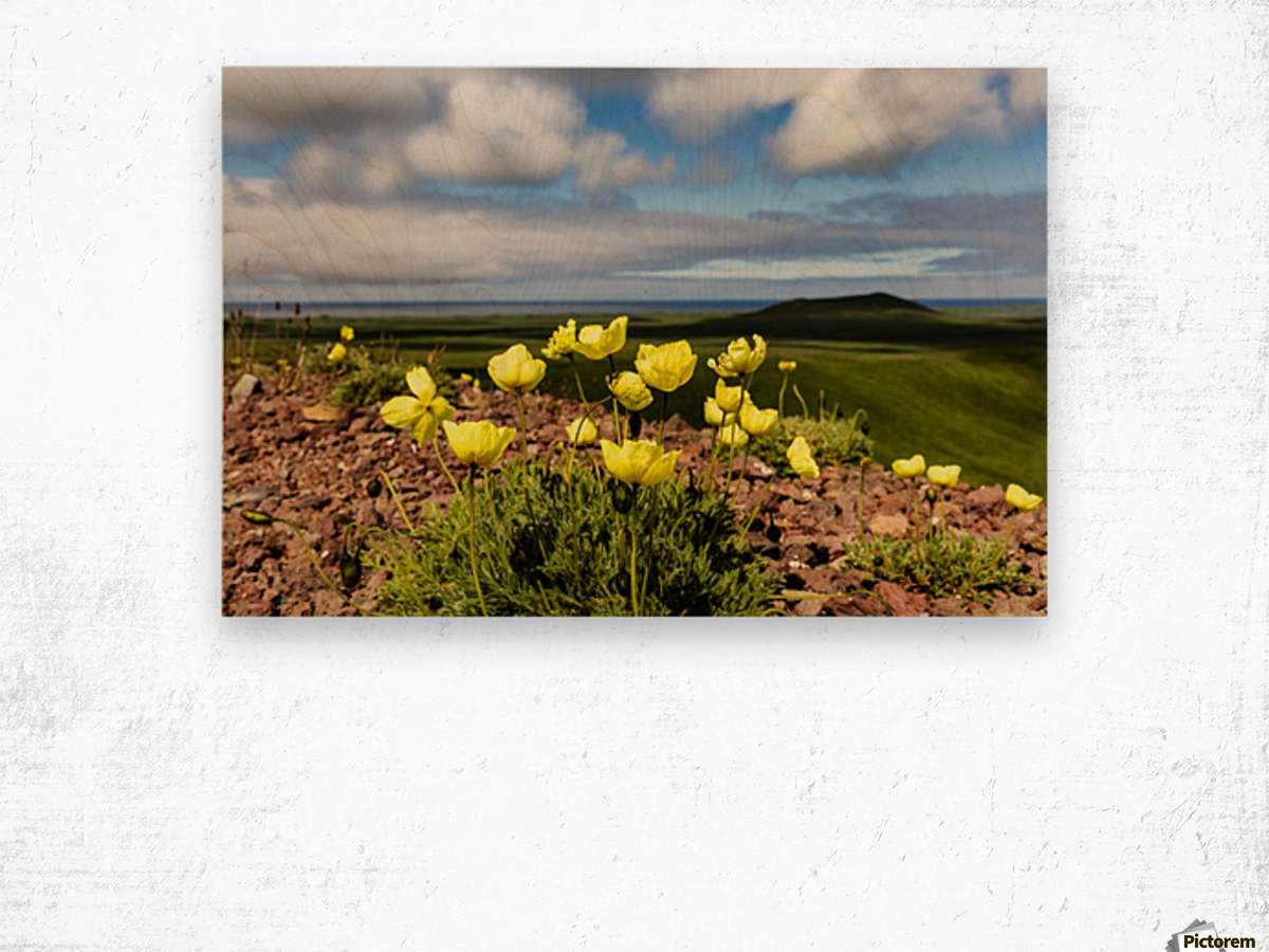 Arctic poppy (Papaver radicatum) grows from the volcanic soil of St. Paul Island in the Pribilofs in Southwest Alaska; St. Paul Island, Pribilof Islands, Alaska, United States of America Wood print