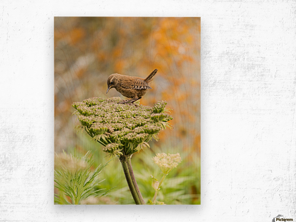 Pacific wren (Troglodytes pacificus) perched on wild celery on St. Paul Island in Southwest Alaska; St. Paul Island, Pribilof Islands, Alaska, United States of America Wood print