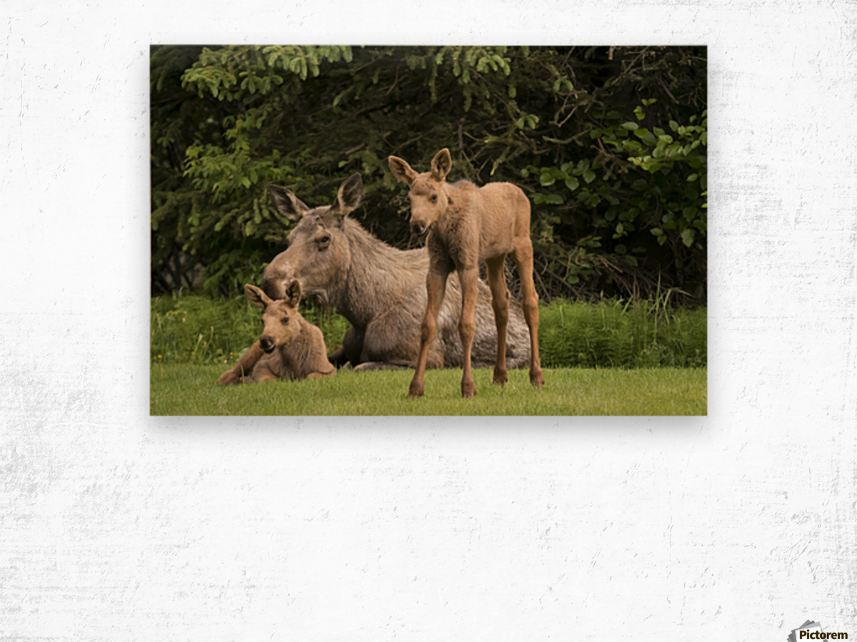 A cow moose (alces alces) relaxes on a lawn with her twin calves; Anchorage, Alaska, United States of America Wood print