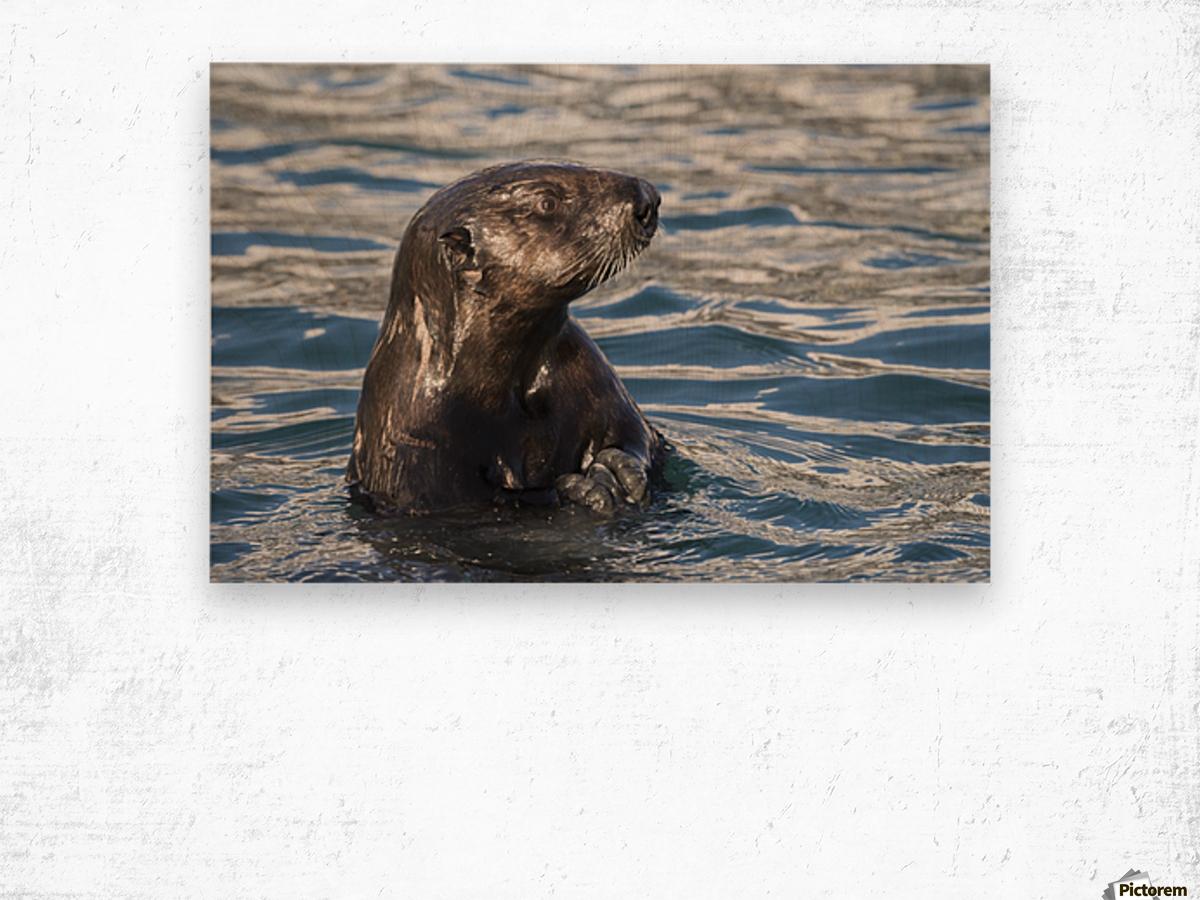Sea Otter (Enhydra lutris) swims in Resurrection Bay near Seward small boat harbour in south-central Alaska; Seward, Alaska, United States of America Wood print