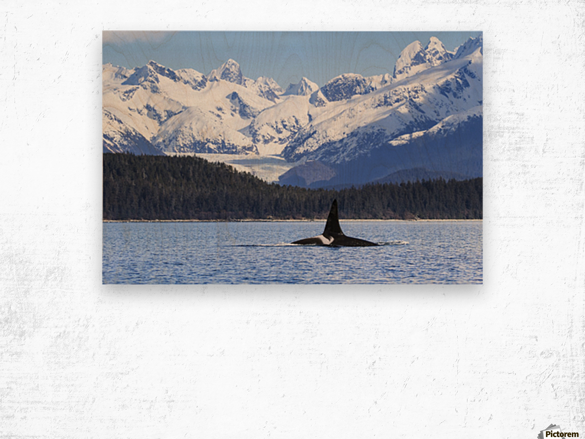 An Orca Whale (Killer Whale) (Orcinus orca), male as indicated by the height of it's dorsal fin, surfaces in Lynn Canal, Herbert Glacier, Inside Passage; Alaska, United States of America Wood print