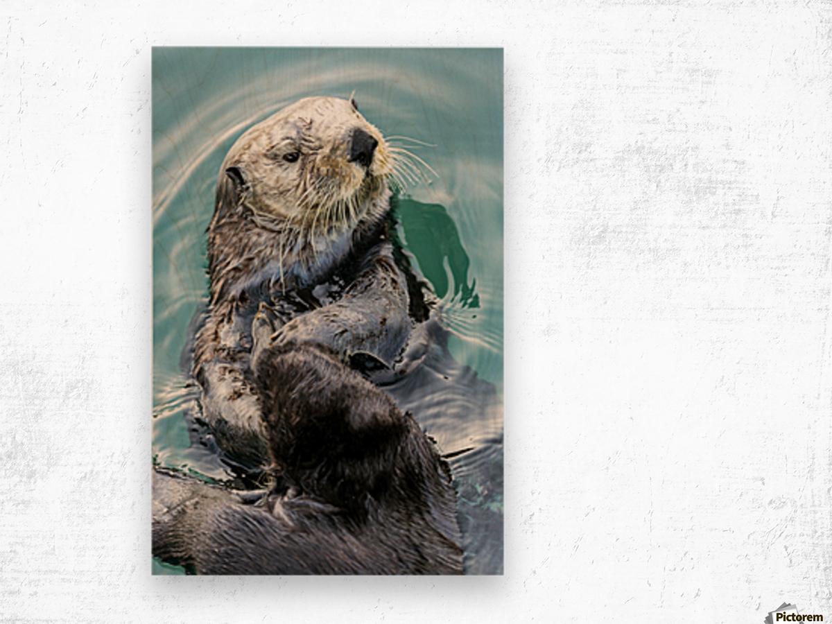 Sea Otter (Enhydra lutris) eating in Seward boat harbour on the Kenai Peninsula in South-central Alaska; Seward, Alaska, United States of America Wood print