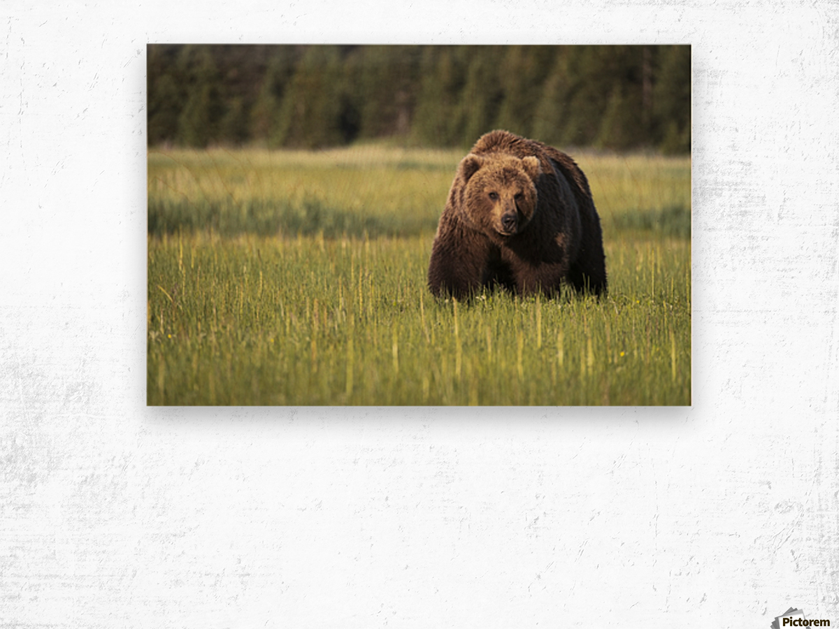 Brown bear (ursus arctos) in Lake Clark National Park; Alaska, United States of America Wood print