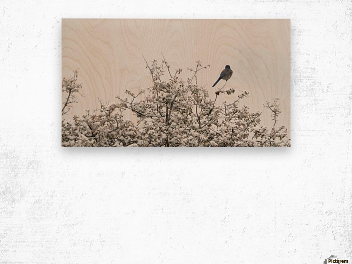Bluebird in Snow 3VP Wood print