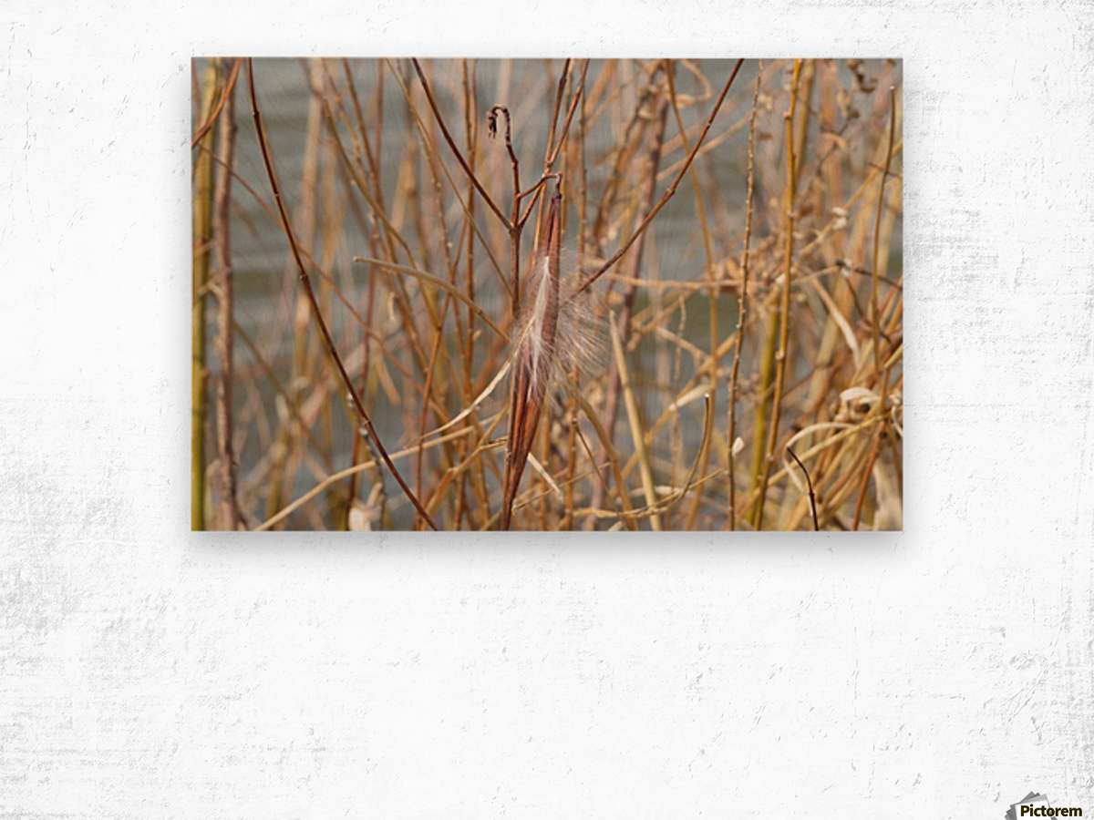 Feather in Reeds at the Glenn VP3 Wood print
