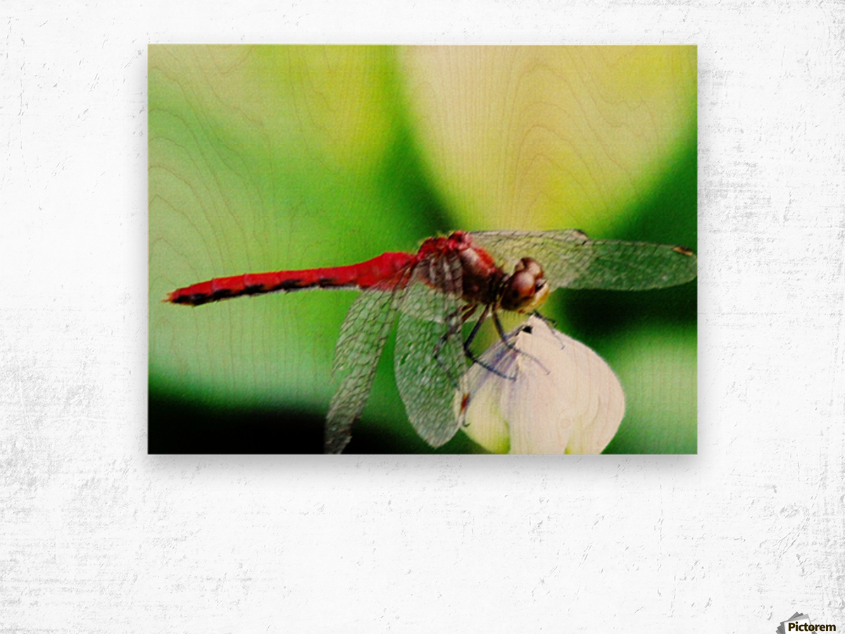 Red Dragonfly 3 Wood print