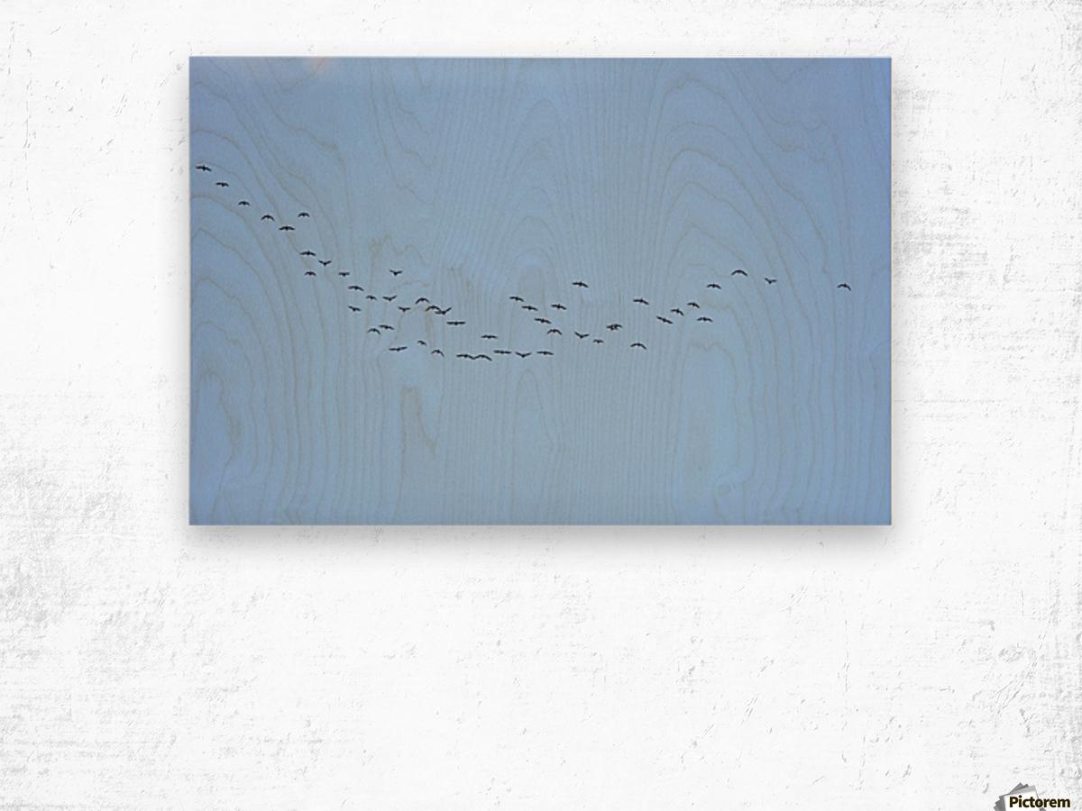 Flock of Geese 3  Wood print
