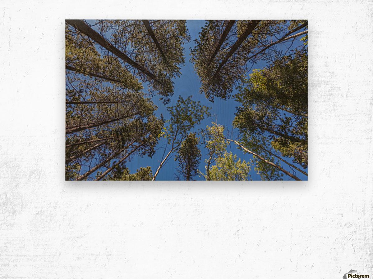 Tree Tops Near Grassi Lake Trail, Alberta Wood print